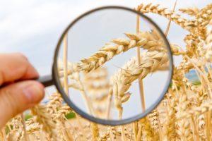 Weizen untersuchen - Wheat control